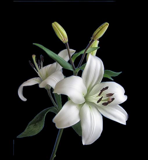 tubes_fleurs_tiram_475