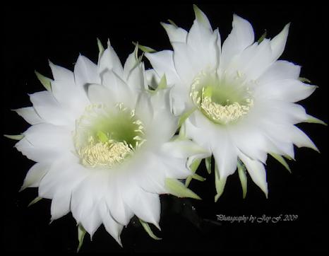 tubes_fleurs_tiram_803