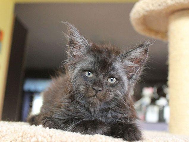 بالصور والفيديو :قطة بملامح بشرية تنتشر على الانتر نت