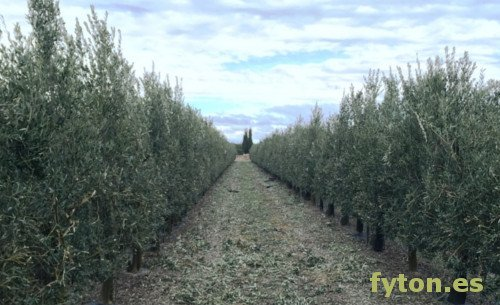 Olive tree, Plantation in Arroniz hedge