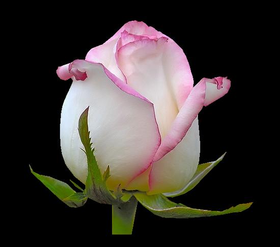 tubes_fleurs_tiram_384