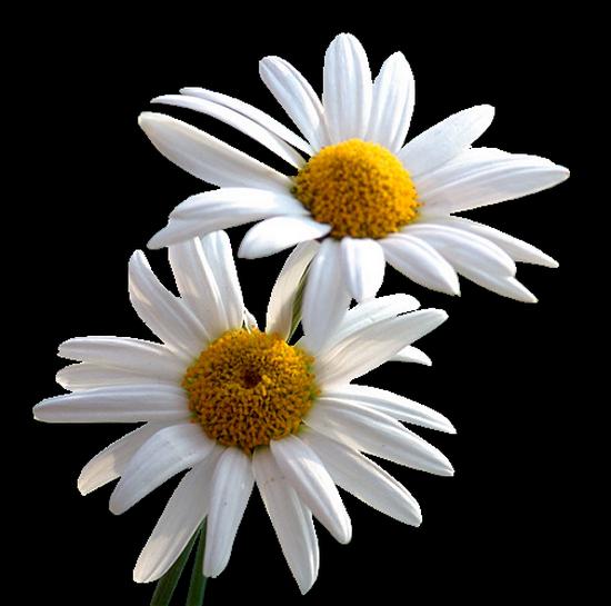 tubes_fleurs_tiram_313