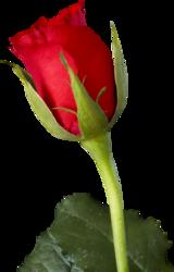 tubes_fleurs_saint_valentin_tiram_123