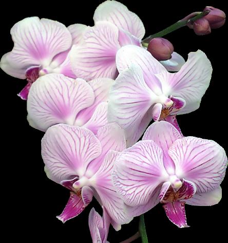 tubes_fleurs_tiram_625