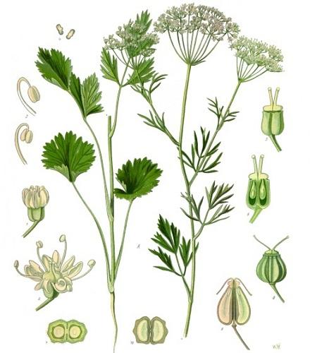 Glikanxo Koehler1887_Pimpinella_Anisum