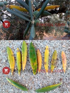 Repilo del olivo, Spilocaega oleagina, Cycloconium oleaginum, hojas de olivo amarillas