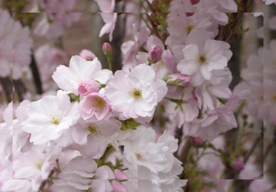 tubes_fleurs_tiram_329