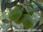 Hojiblanca es una variedad de aceituna andaluza de doble aptitud, aderezo y aceite de oliva
