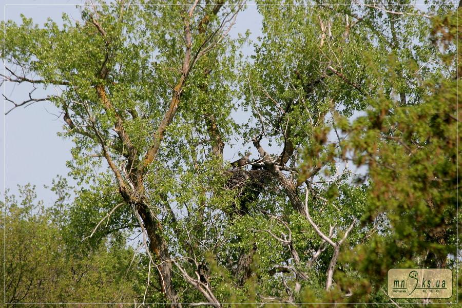 Орлан-білохвіст з пташеням на гнізді