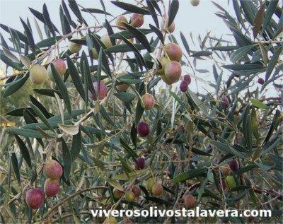 Variedad de Olivo Ocal, foto variedad de olivo sevillana Ocal