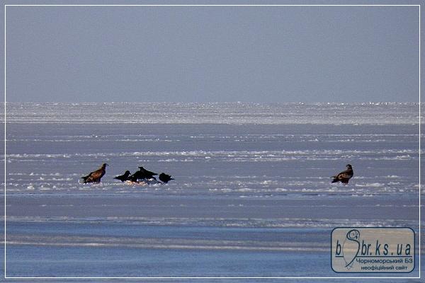 Орлани-білохвости та круки біля здобичі на льоду Ягорлицької затоки