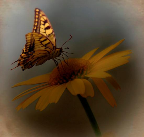 tubes_papillon_tiram_365
