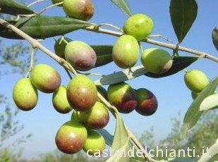 Olivo Frantoio, maduración envero, variedad de olivo italiana