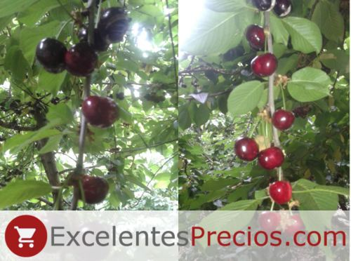 Early Lory cherry Tree, cherry branch Early Lory variety, cherries cracked, cherry sensitive to cracking