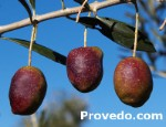 Ergot is a variety of double aptitude olives (Table, oil)