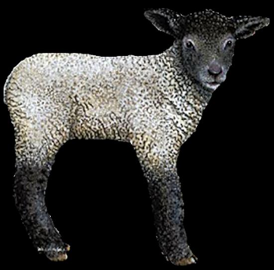 mouton_tiram_79