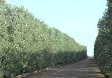 Frangivento Olive Tree, Cipressino olive tree, windbreak hedge formation, Cipressino