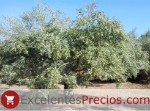 Manzanilla Cacereña Olive, excellent variety for green and black dressing