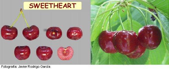 Variedad de cereza Sweet Heart, Cerezo Sumtare, cereza de maduración muy tardía