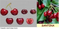 Types of cherry: Santina