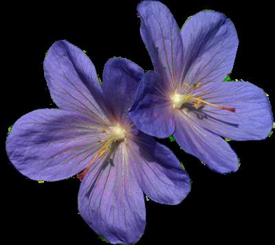 tubes_fleurs_tiram_852
