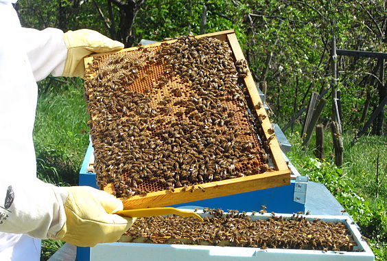 Lavorano le api, ma anche Claudia e Davide
