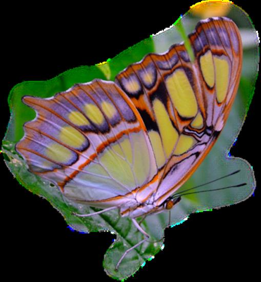 tubes_papillon_tiram_736