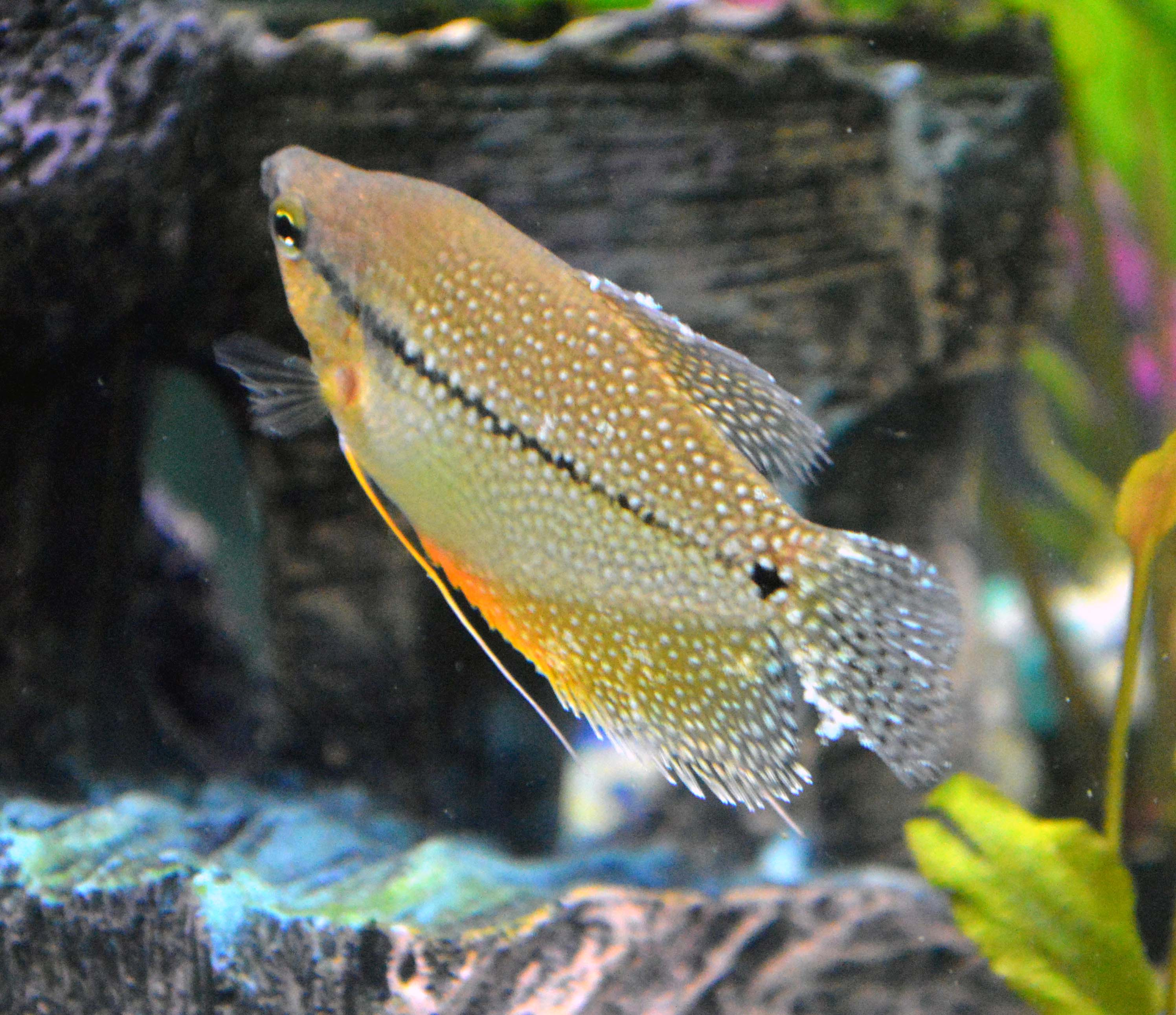Pearl Gourami Help Can t figure out if he has ich or The Planted