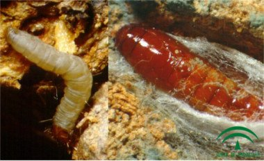 Euzophera pinguis, larva and chrysalis Euzophera