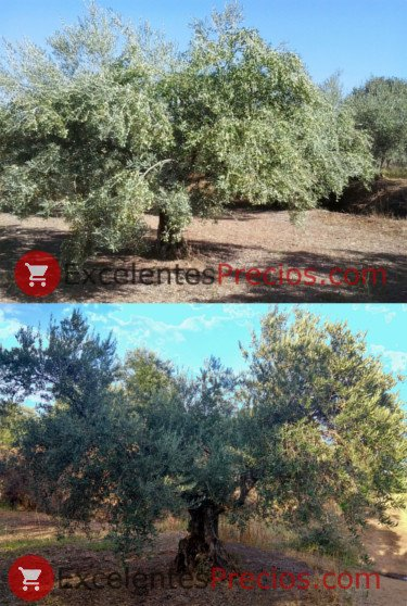 Unstable olive production, regularity of bearing of olive tree, olive oil campaign 2017 and 2018