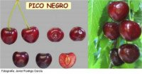 Cherry tree types: Black Peak, black cherry varieties