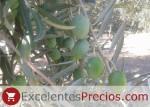 Gordal Sevillana es una aceituna típica para kimbos, tamaño muy grande