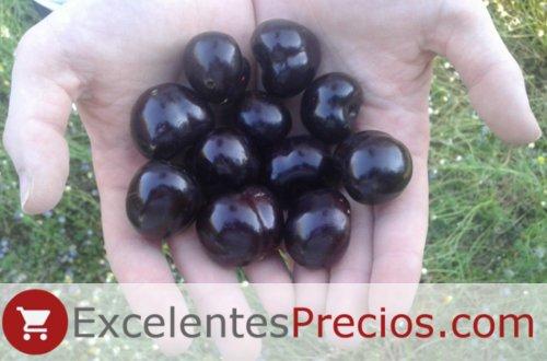 Puñado de cerezas variedad Cristalina, cereza de tamaño muy gordo
