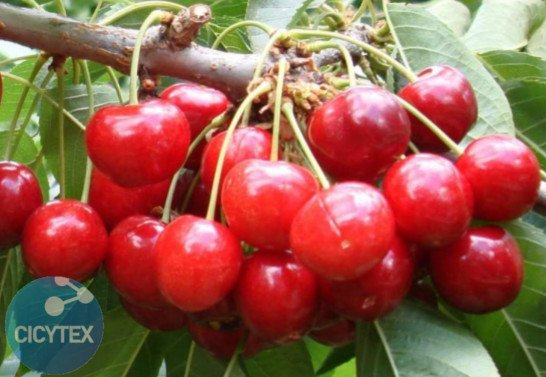 Image Staccato cherry, cherry variety Staccato (Sumer Charm), 13S 20-09 very late ripening cherry