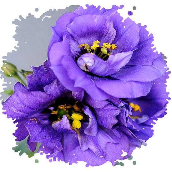 tubes_fleurs_tiram_531
