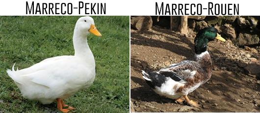 Marreco-Pekin-Marreco-Rouen