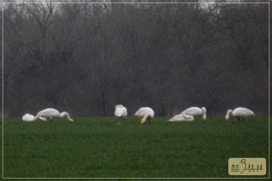 Лебеді-кликуни (Cygnus cygnus) на озимині