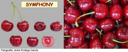 Imagen Cereza Symphony, variedad de cerezo Symphony (Selina) cereza de maduración muy tardía, foto cerezas
