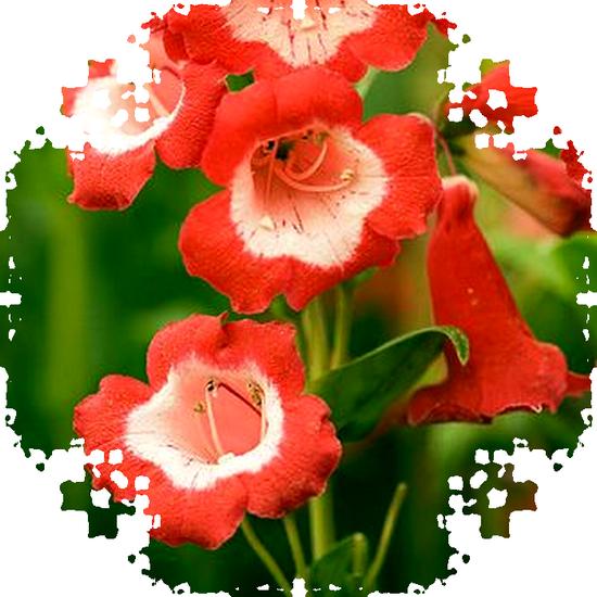 tubes_fleurs_tiram_532