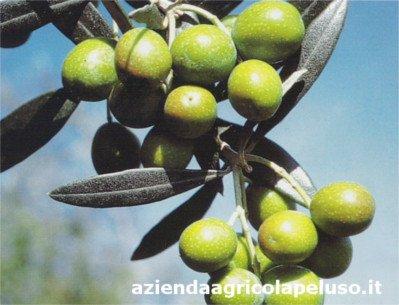 Olive variety Roggianella, Roggianella olive tree