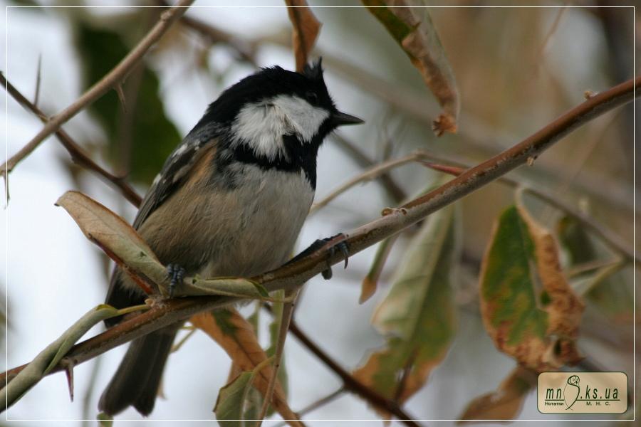 Синиця чорна (Parus ater)