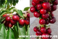 Types of cherry: Nimba