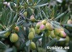 Variedad de olivo Picudo